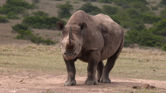 Black rhino with birds swirling around, frontal shot