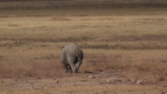 black rhinoceros 1 - rhinoceros stock videos & royalty-free footage