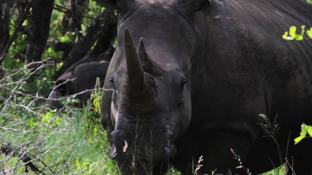 vidéos et rushes de black rhinoceros, close up - république d'afrique du sud