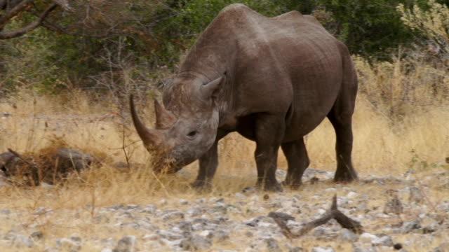 ms cu zi pan black rhinoceros in savannah / namibia - rhinoceros stock videos & royalty-free footage