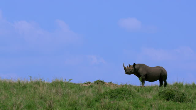 Black Rhinoceros (Rhino) On Hill Maasai Mara  Kenya  Africa