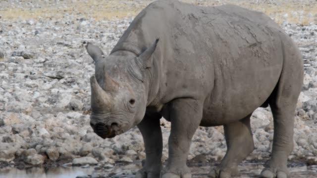 vídeos y material grabado en eventos de stock de rinoceronte negro - animales de safari