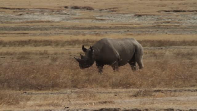 black rhinoceros (diceros bicornis) - rhinoceros stock videos & royalty-free footage