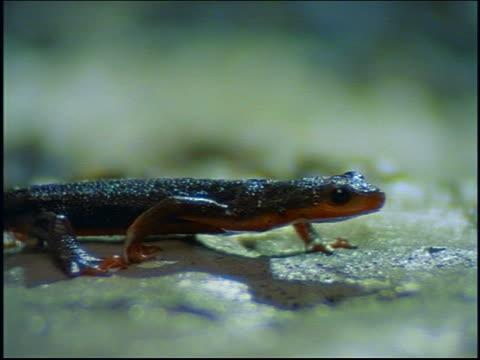 pan black salamander with orange belly walking - salamander stock videos and b-roll footage