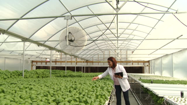 Black scientist with digital tablet checking basil in greenhouse