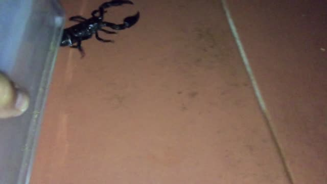 black scorpion fighting - south east asia stock videos & royalty-free footage
