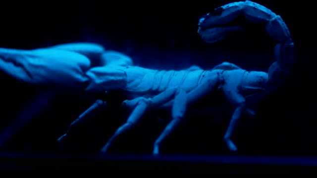 black scorpion under ultraviolet light - scorpion stock videos & royalty-free footage