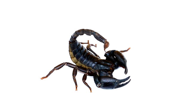 black scorpion - scorpion stock videos & royalty-free footage