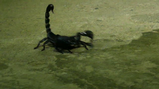 black scorpion - arachnophobia stock videos & royalty-free footage
