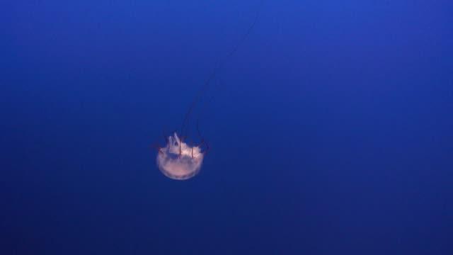 ブラックの sea nettle 4 hd - クラゲ点の映像素材/bロール