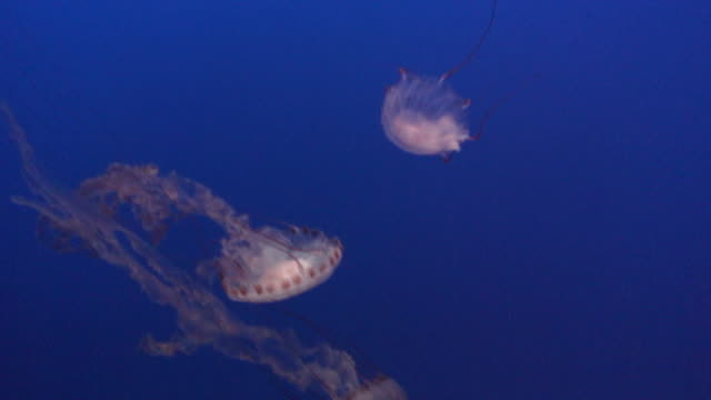 black sea nettle 5 - hd - nettle stock videos & royalty-free footage