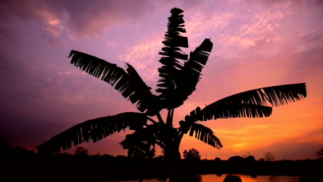 Black shadows a tree at Sunset