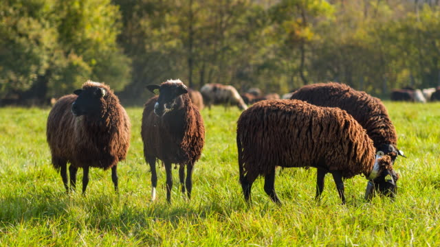 Black sheep grazing on a pasture