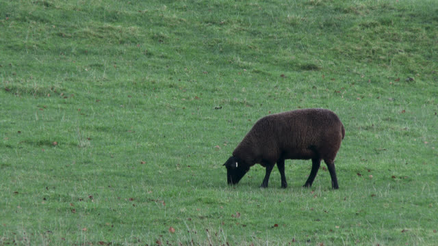 Black sheep standing in field on a grey overcast day