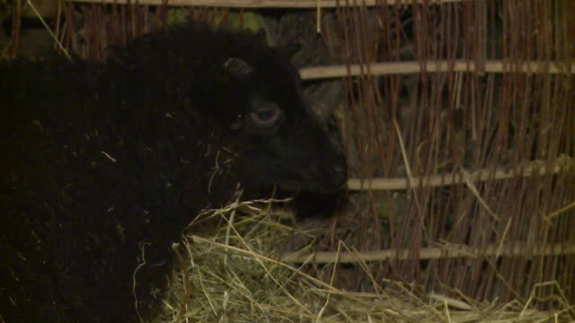 black sheep - hooved animal stock videos & royalty-free footage