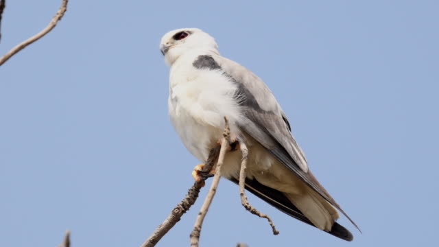 black shouldered kite perched on a tree branch - claw stock videos & royalty-free footage