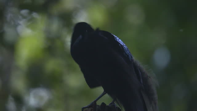 black sicklebill courting / papua, indonesia - documentary footage stock videos & royalty-free footage