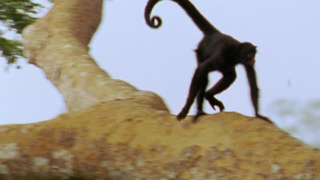 vídeos y material grabado en eventos de stock de pan black spider monkey scampering down tree / manu, peru - cola parte del cuerpo animal