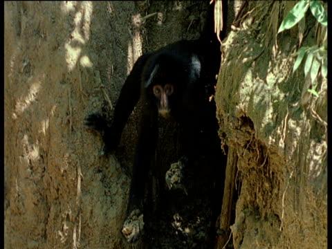 vídeos de stock, filmes e b-roll de black spider monkeys utilise clay as a natural remedy to indigestion - animal abdomen