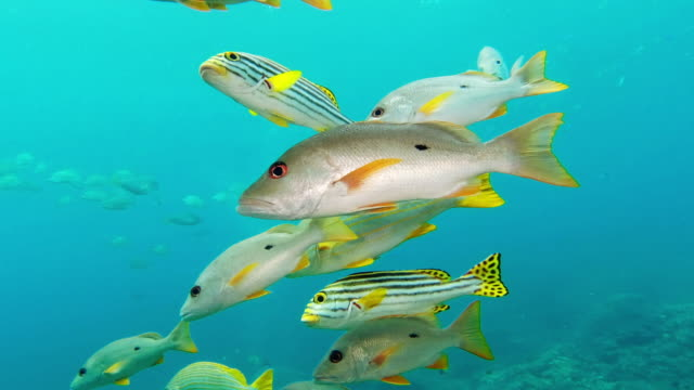 black spot snappers just going about their day - sweetlips stock videos & royalty-free footage