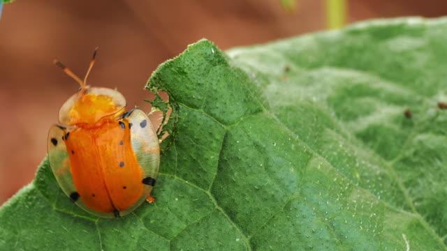 black spotted orange tortoise beetle - beetle stock videos & royalty-free footage