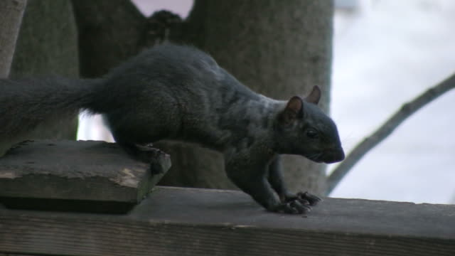 (hd1080i) black squirrel stands still, then leaves - squirrel stock videos and b-roll footage