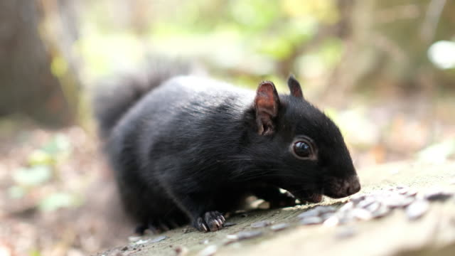 black squirrel - 30 seconds or greater stock videos & royalty-free footage