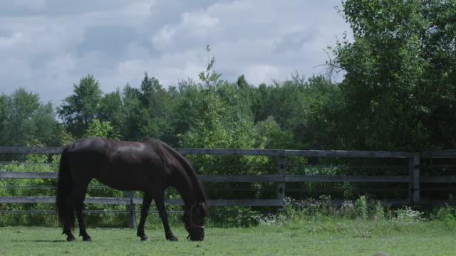 black stallion grazing in paddock - stallion stock videos & royalty-free footage