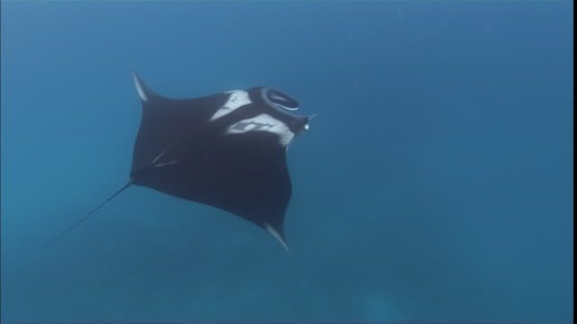 ms ts cu black sting ray with white markings gliding towards water's surface / madagascar - stingray stock videos and b-roll footage