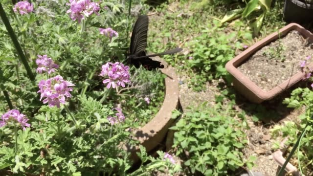 black swallowtail butterfly - yuko yamada stock videos & royalty-free footage
