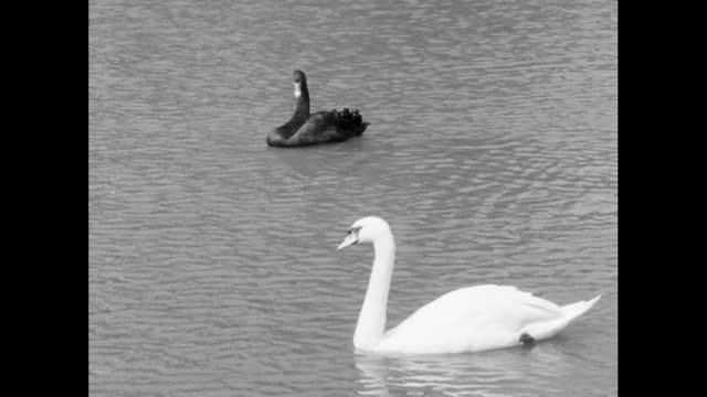 black swan and white swan swimming on calm water; 1964 - moat stock videos & royalty-free footage