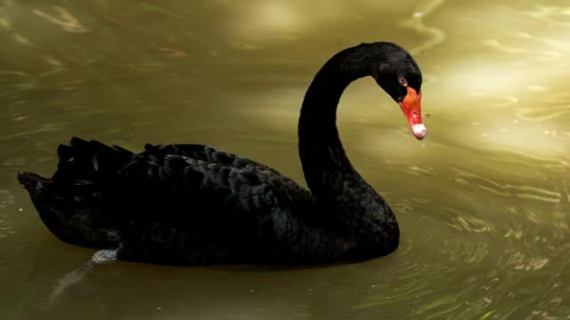 stockvideo's en b-roll-footage met black swan floation on water - knobbelzwaan