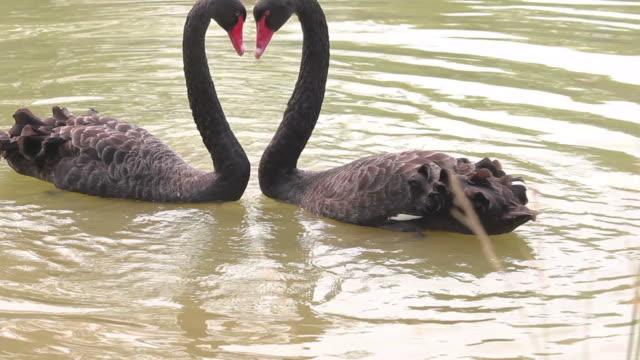 cu ls black swan in lake/xian,shaanxi,china - aquatic organism stock videos & royalty-free footage
