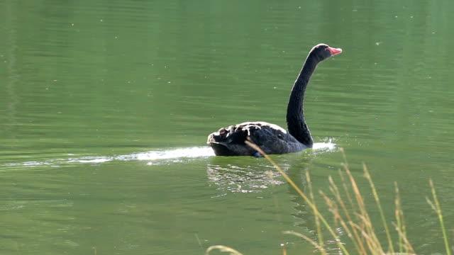 black swan on water - swan stock videos & royalty-free footage