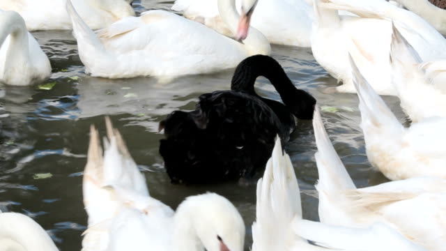 Black swan swimming out amongst white swans
