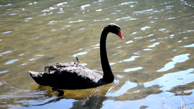 stockvideo's en b-roll-footage met zwarte zwaan - knobbelzwaan