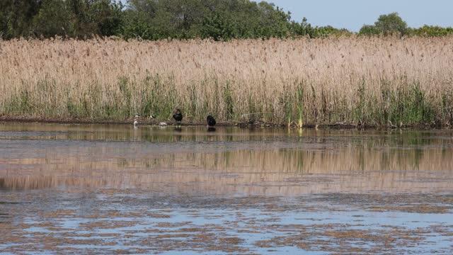 オーストラリア・モートン・ベイ・ブリビー島湿原バードライフ保護区の黒い白鳥とシグネット - 白鳥の子点の映像素材/bロール