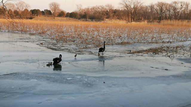 湖で泳ぐ黒い白鳥とその赤ちゃん白鳥 - 白鳥の子点の映像素材/bロール