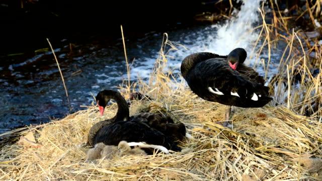 黒い白鳥とそのシグネットが海岸に休んでいる - 白鳥の子点の映像素材/bロール