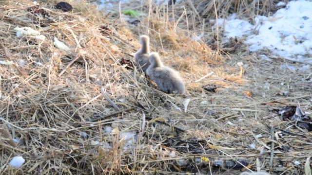 海岸で休んでいる黒い白鳥とそのシグネット - 白鳥の子点の映像素材/bロール