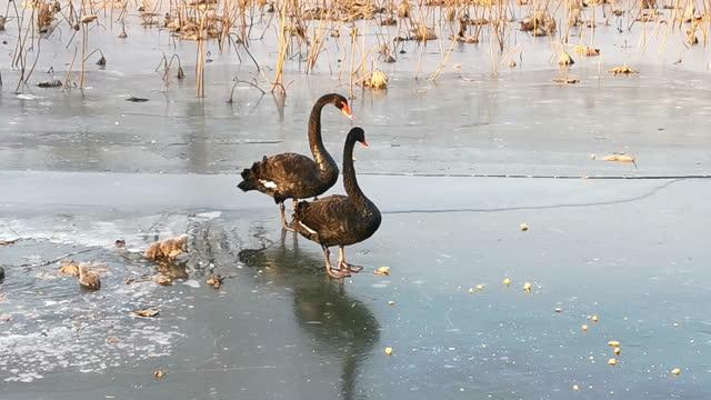 寒い冬の氷の上を歩く黒い白鳥とその若い白鳥 - 白鳥の子点の映像素材/bロール