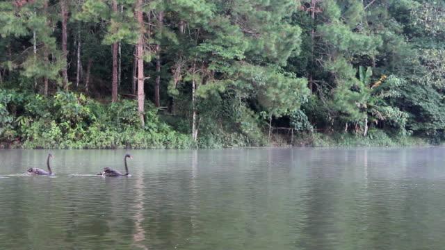 vídeos y material grabado en eventos de stock de cisnes negros están nadar en el río. - cuello humano