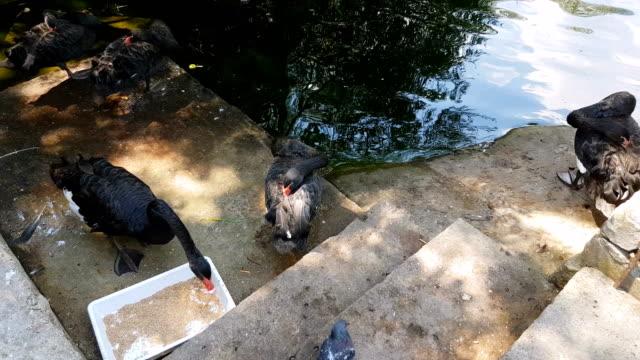 stockvideo's en b-roll-footage met zwarte zwanen eten en rusten in de buurt van een vijver - knobbelzwaan