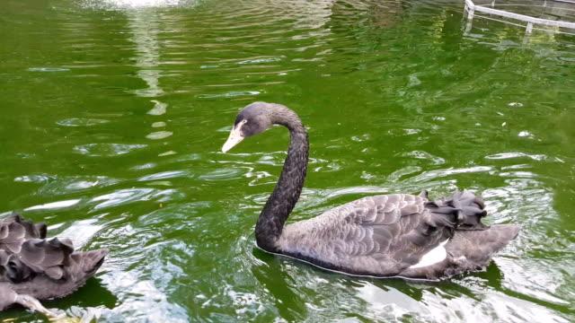 stockvideo's en b-roll-footage met zwarte zwanen zwemmen in de vijver - knobbelzwaan