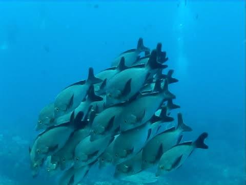 vidéos et rushes de black tailed fish - groupe moyen d'animaux