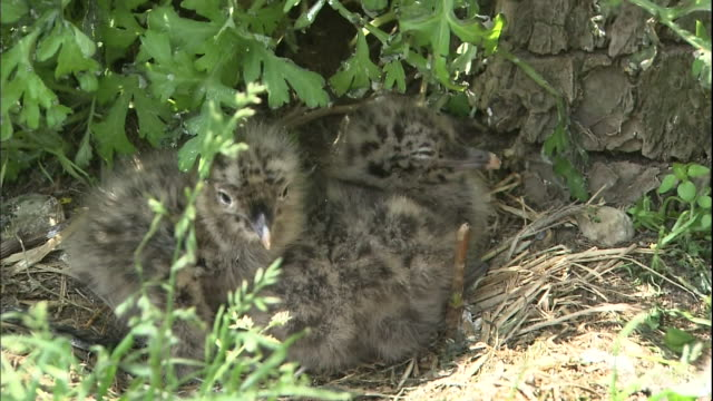 Black tailed gull chicks hide under a bush.