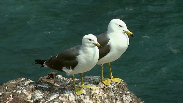 Black tailed Gull couple standing on a rock in Dokdo (the most important island to Koreans and often involved in the Territorial Dispute)