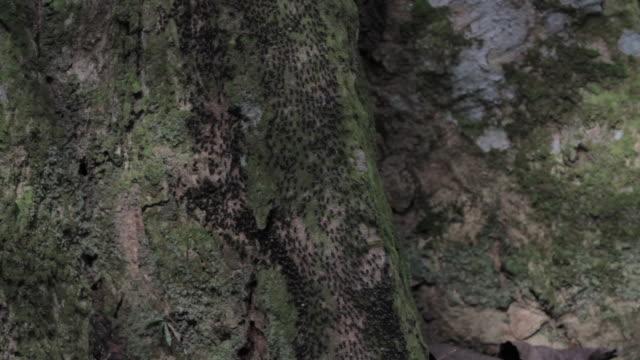 Black termites migrating
