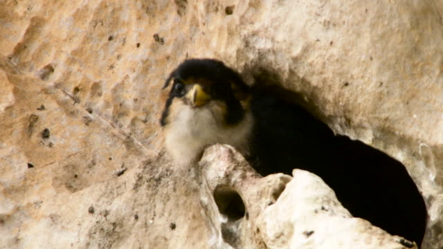 stockvideo's en b-roll-footage met black thighed falconet at nest, malaysia. - crevice