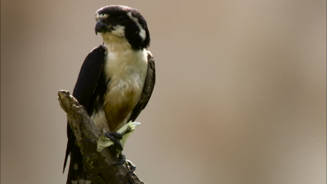black thighed falconet eats butterfly, malaysia. - malaysia stock videos & royalty-free footage